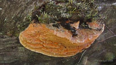 Гапалопилус оранжевый (Hapalopilus aurantiacus) На боковой поверхности соснового бревна. Стадии развития. 2015.07.25 Автор фото: Кром Игорь
