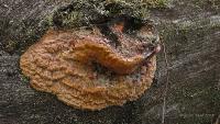 Hapalopilus