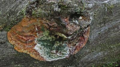 Гапалопилус оранжевый (Hapalopilus aurantiacus) На боковой поверхности соснового бревна. Стадии развития. 2015.08.20 Автор фото: Кром Игорь