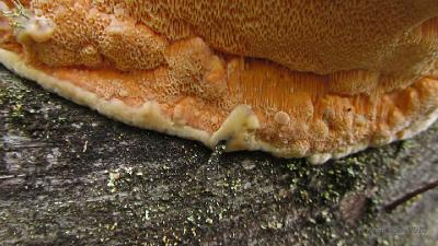 Гапалопилус оранжевый (Hapalopilus aurantiacus) Структура поверхности и края плодовых тел Автор фото: Кром Игорь