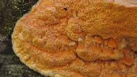 Гапалопилус оранжевый (Hapalopilus aurantiacus)