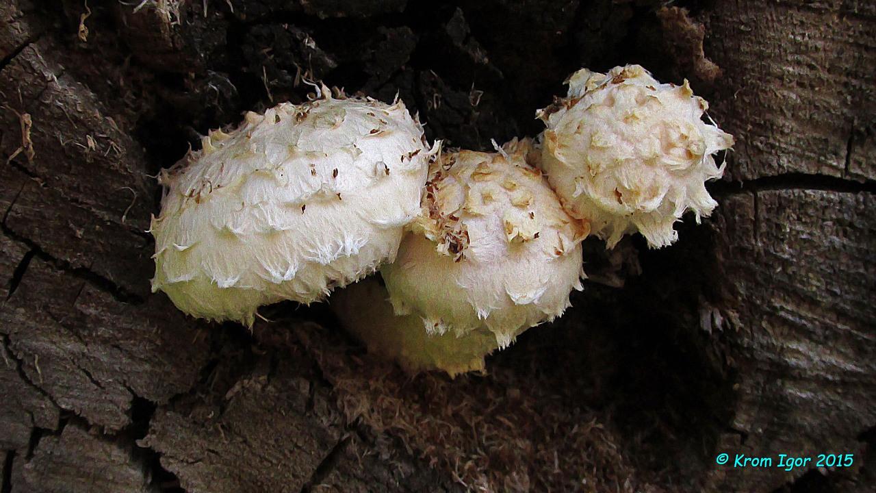 Чешуйчатка отклоняющаяся (Hemipholiota heteroclita) Автор фото: Кром Игорь