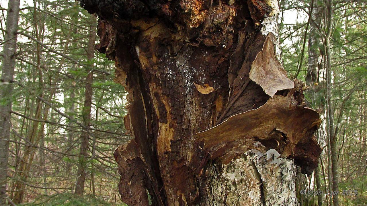Трутовик скошенный (Inonotus obliquus). Автор фото: Кром Игорь