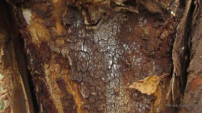 Трутовик скошенный (Inonotus obliquus) Автор фото: Кром Игорь