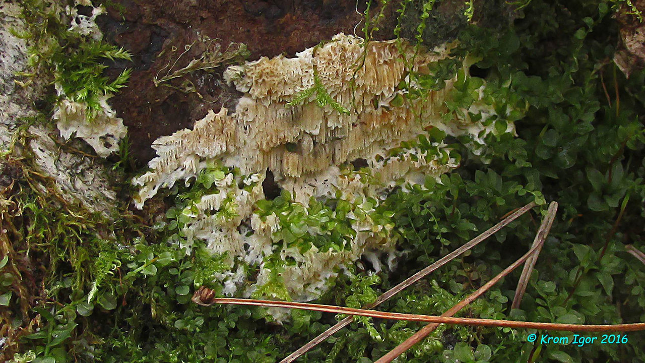 Юнгхуния ложнозилингова (Junghuhnia pseudozilingiana). Автор фото: Кром Игорь