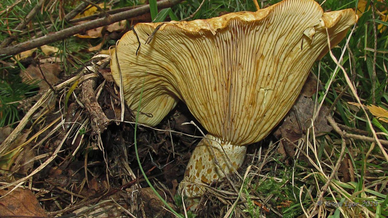 Груздь жёлтый (Lactarius scrobiculatus) Автор фото: Кром Игорь