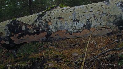 Старые плодовые тела на осине Автор фото: Кром Игорь