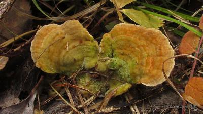 Необычно яркоокрашенное плодовое тело, выросшее на ивовом отпаде Автор фото: Кром Игорь