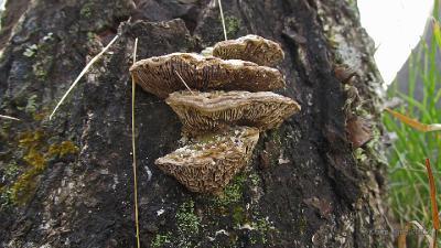 Небольшие плодовые тела, застигнутые заморозками, на берёзовом пне Автор фото: Кром Игорь
