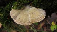 Лензитес березовый (Lenzites betulina)