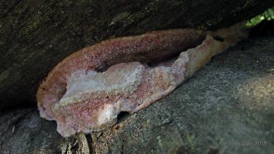 Лептопорус мягкий (Leptoporus mollis) Автор фото: Кром Игорь