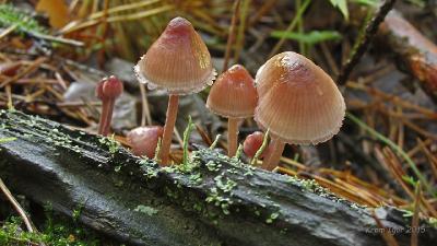 Мицена кровавоножковая (Mycena haematopus) Автор фото: Кром Игорь