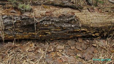 Оксипорус корковый (Oxyporus corticola) Шляпочная форма. Конец апреля, на валежной осине. Определено по микропризнакам Сергеем Большаковым (БИН РАН).  Автор фото: Кром Игорь