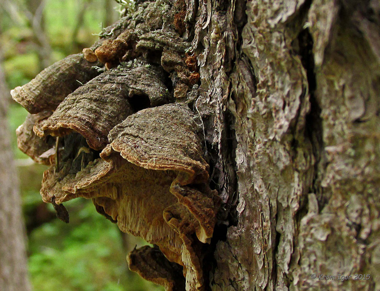 Еловая губка (Phellinus chrysoloma). Автор фото: Кром Игорь