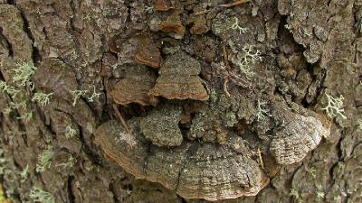 Еловая губка (Phellinus chrysoloma) Автор фото: Кром Игорь