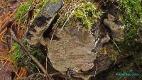 Трутовик ложный Лунделла (Phellinus lundellii)