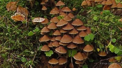 Псатирелла многоножковая (Psathyrella multipedata) Автор: Кром Игорь