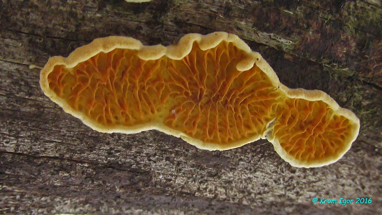 Псевдомерулиус золотистый (Pseudomerulius aureus) Автор фото: Кром Игорь