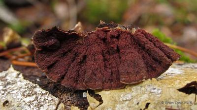 Пунктулярия щетинисто-зональная (Punctularia strigosozonata) Начало ноября. Старые плодовые тела, перенёсшие заморозки.  Автор фото: Кром Игорь