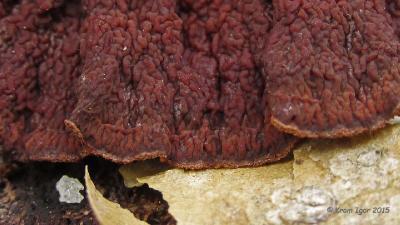 Пунктулярия щетинисто-зональная (Punctularia strigosozonata) Начало <span class=wiki>ноября</span>. Старые <span class=wiki>плодовые тела</span>, перенёсшие заморозки.  Автор фото: Кром Игорь