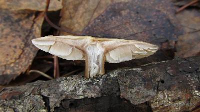 Коллибия масляная (Rhodocollybia butyracea) Автор фото: Кром Игорь