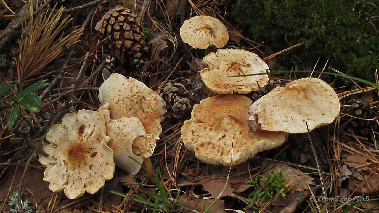 Коллибия пятнистая (Rhodocollybia maculata). Автор фото: Кром Игорь