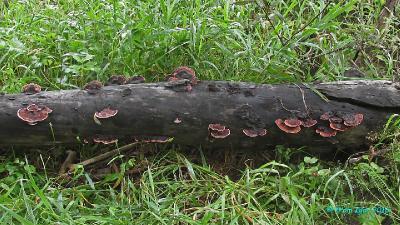 Пойма р. Казыр. Плодовые тела F. cajanderi разного возраста на хвойном топляке, выброшенном на берег во время весеннего паводка.  Автор фото: Кром Игорь