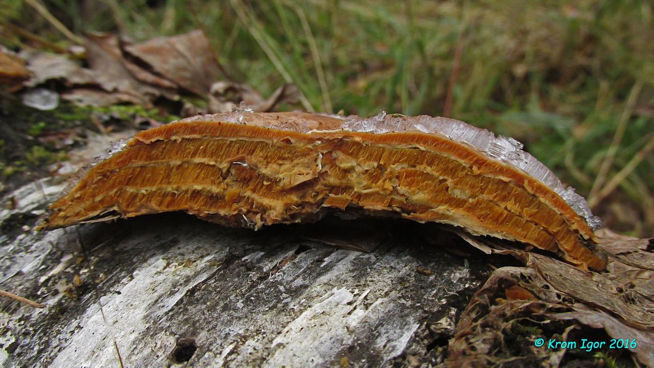 Ригидопорус шафранно-желтый (Rigidoporus crocatus). Автор фото: Кром Игорь