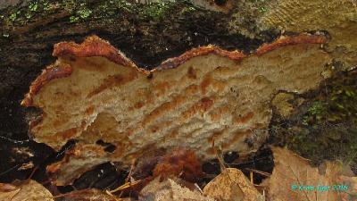Тот же самый гриб спустя ещё 28 дней.  Автор фото: Кром Игорь