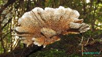 Стекхеринум Мурашкинского (Steccherinum murashkinskyi)