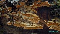 Стекхеринум охряный (Steccherinum ochraceum)