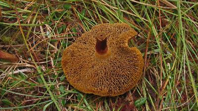 Козляк (Suillus bovinus) На окраине клюквенного болота Автор фото: Кром Игорь