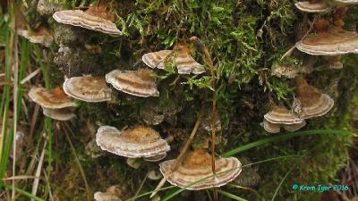 Начало октября. Живые плодовые тела на осиновом пне.  Автор фото: Кром Игорь