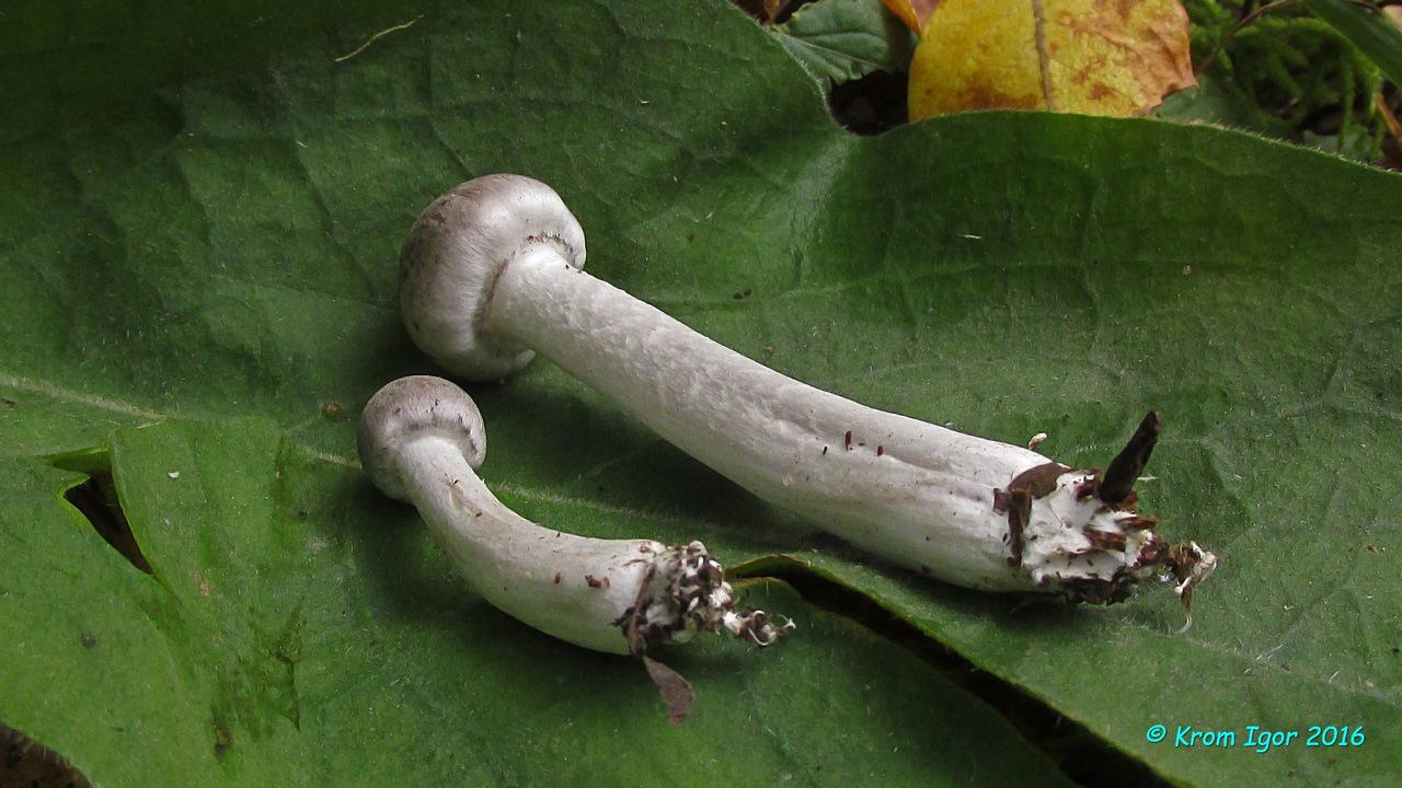 Рядовка опоясанная (Tricholoma cingulatum) Автор фото: Кром Игорь