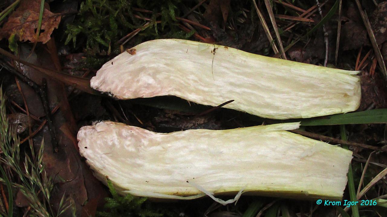 Рядовка репоножковая (Tricholoma rapipes) Автор фото: Кром Игорь