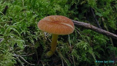 Tricholomopsis flammula  Автор фото: Кром Игорь
