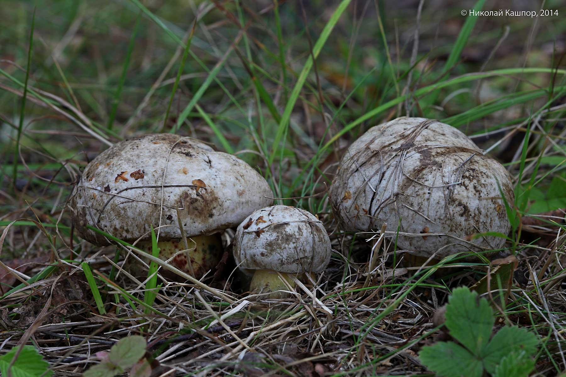 Болет глубокоукореняющийся (Boletus radicans). Автор фото:Кашпор Николай