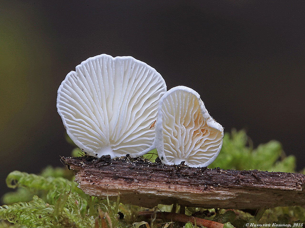 Хеймонофиллюм белейший (Cheimonophyllum candidissimum). Автор фото:Кашпор Николай