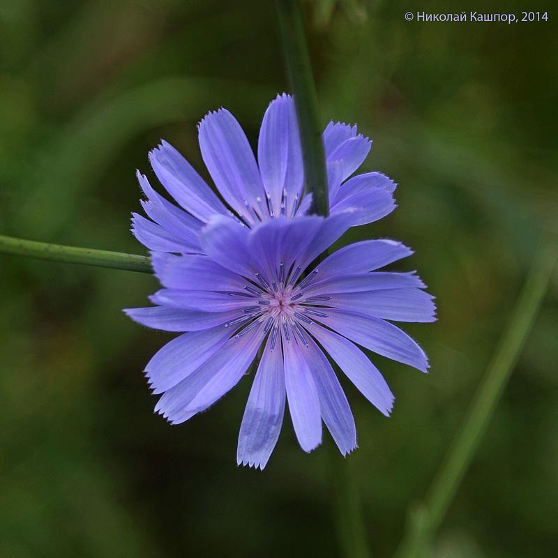 Цикорий обыкновенный (Cichorium intybus). Автор фото:Кашпор Николай