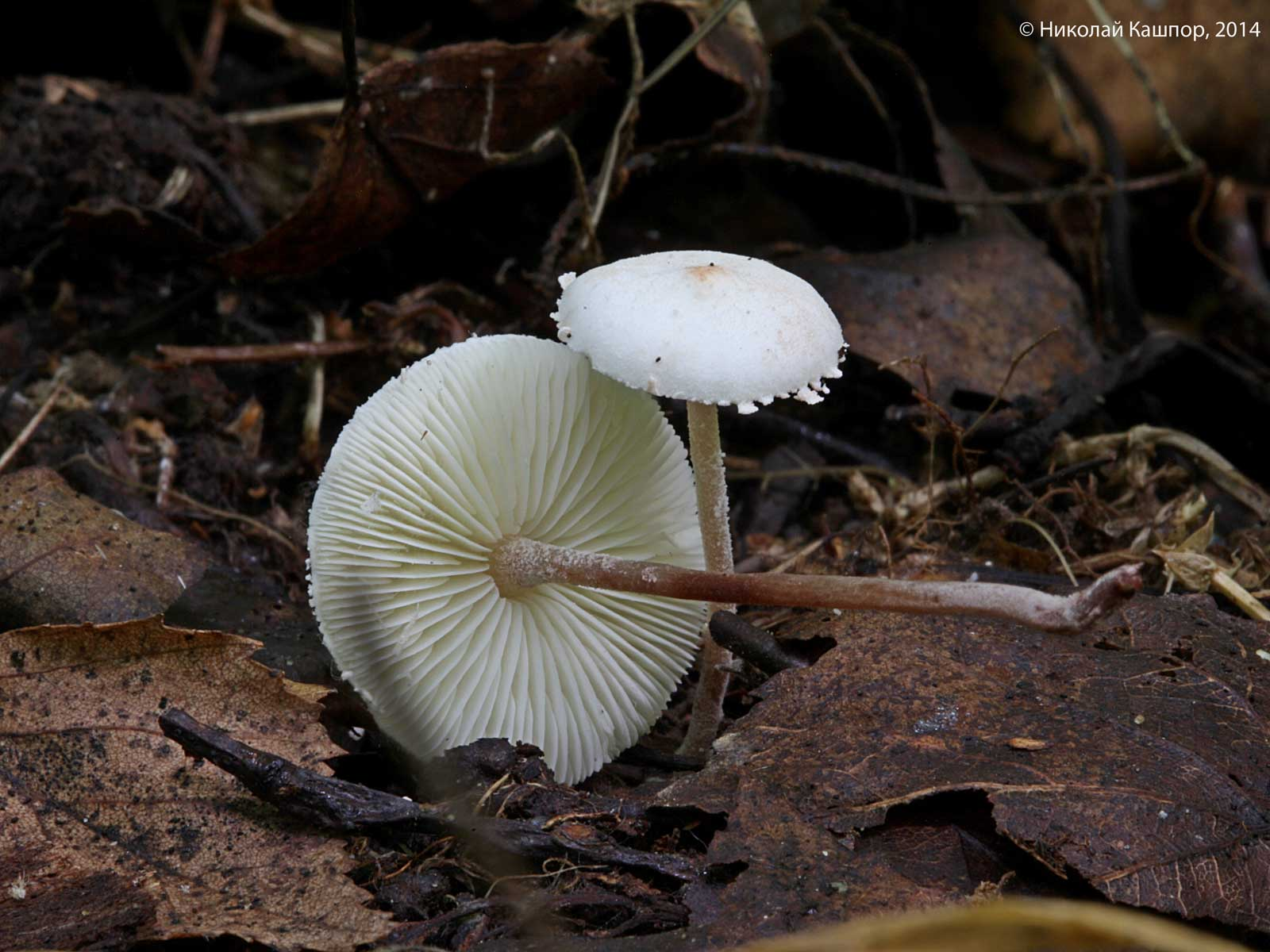 Cystolepiota seminuda. Автор фото:Кашпор Николай
