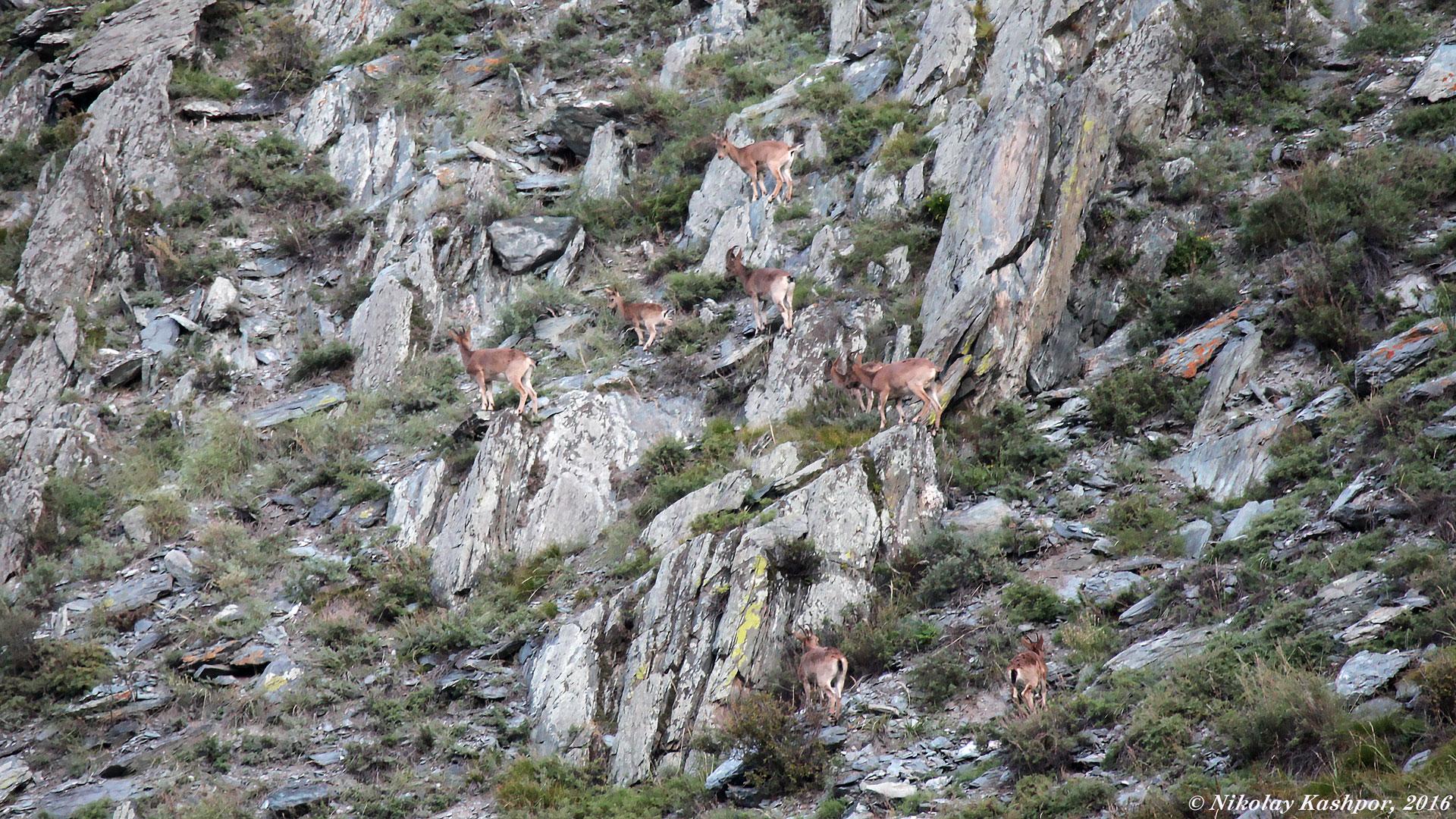 Горный козел. Автор фото: Кашпор Николай