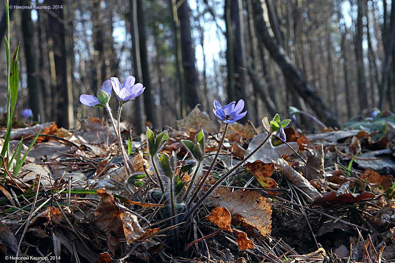 Печеночница благородная (Hepatica nobilis). Автор фото:Кашпор Николай