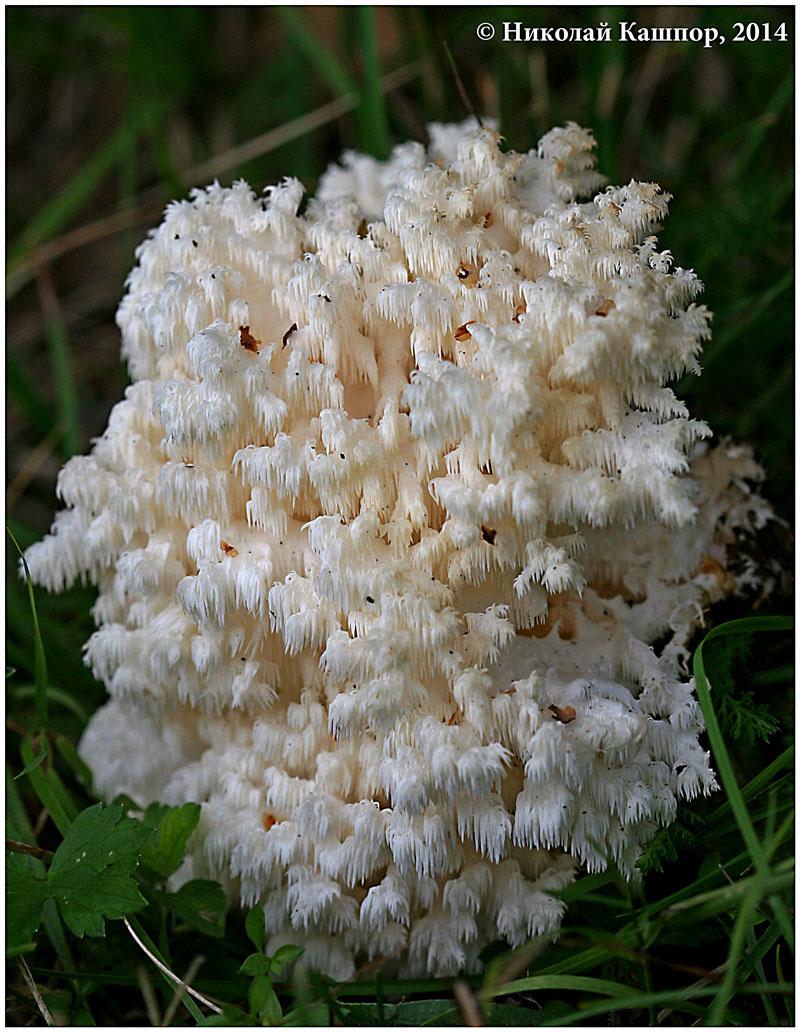 Ежовик коралловидный (Hericium coralloides). Автор фото:Кашпор Николай