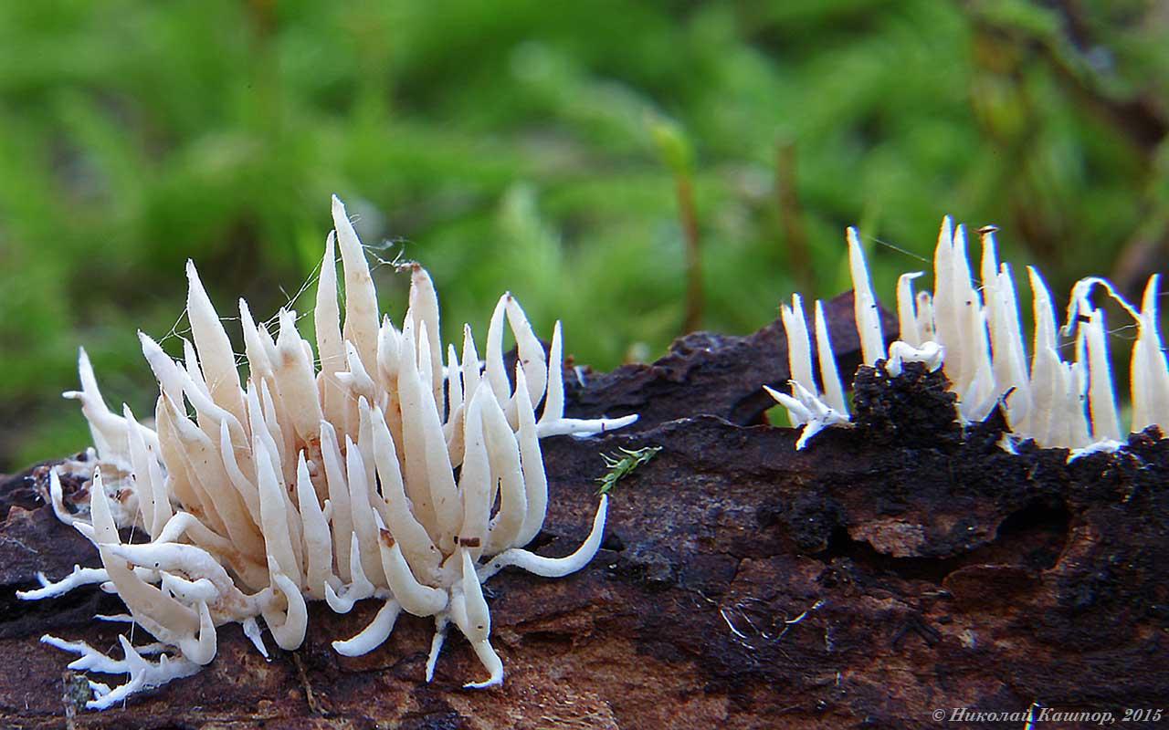 Гиднокристелла кожистоязыковая  (Hydnocristella himantia). Автор фото:Кашпор Николай
