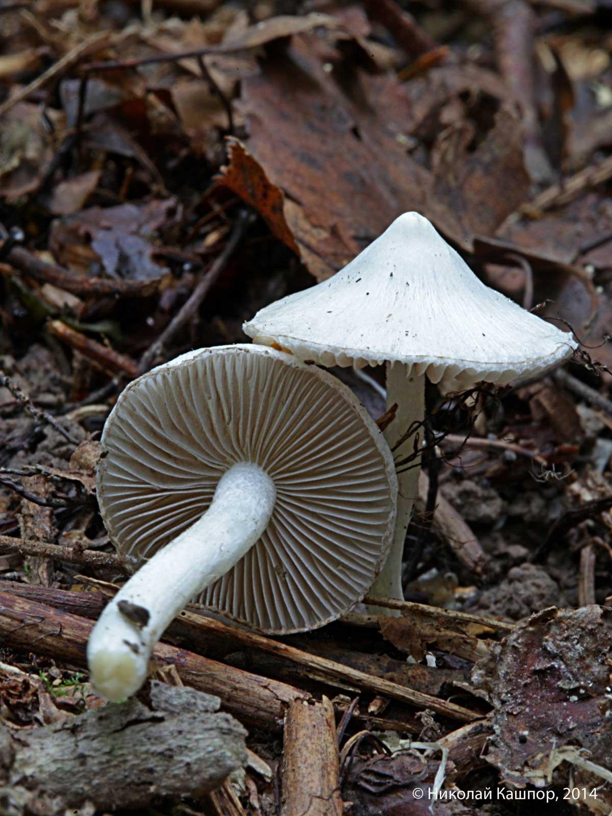 Inocybe geophylla. Автор фото: Кашпор Николай