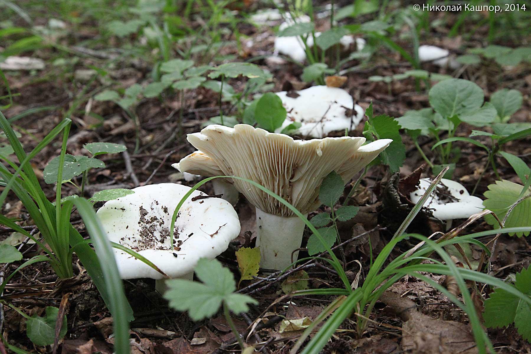 Скрипица (Lactarius vellereus). Автор фото:Кашпор Николай