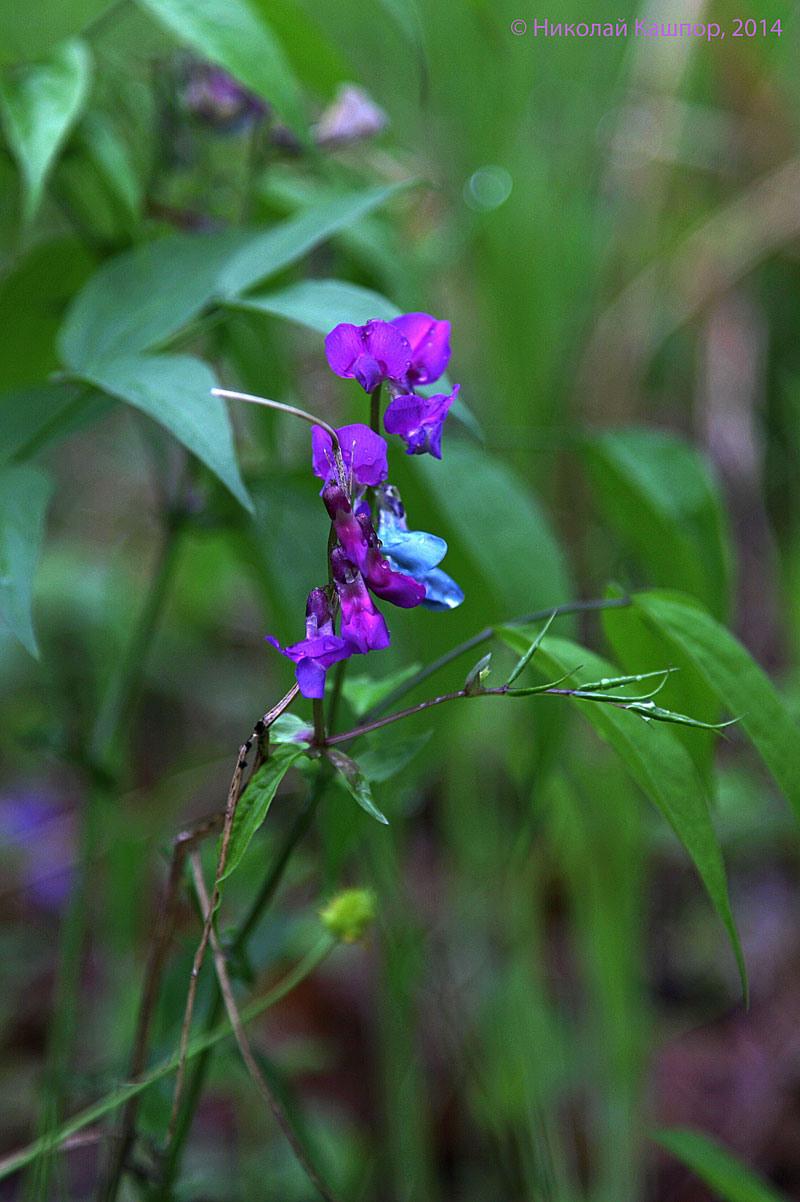 Чина весенняя (Lathyrus vernus). Автор фото:Кашпор Николай