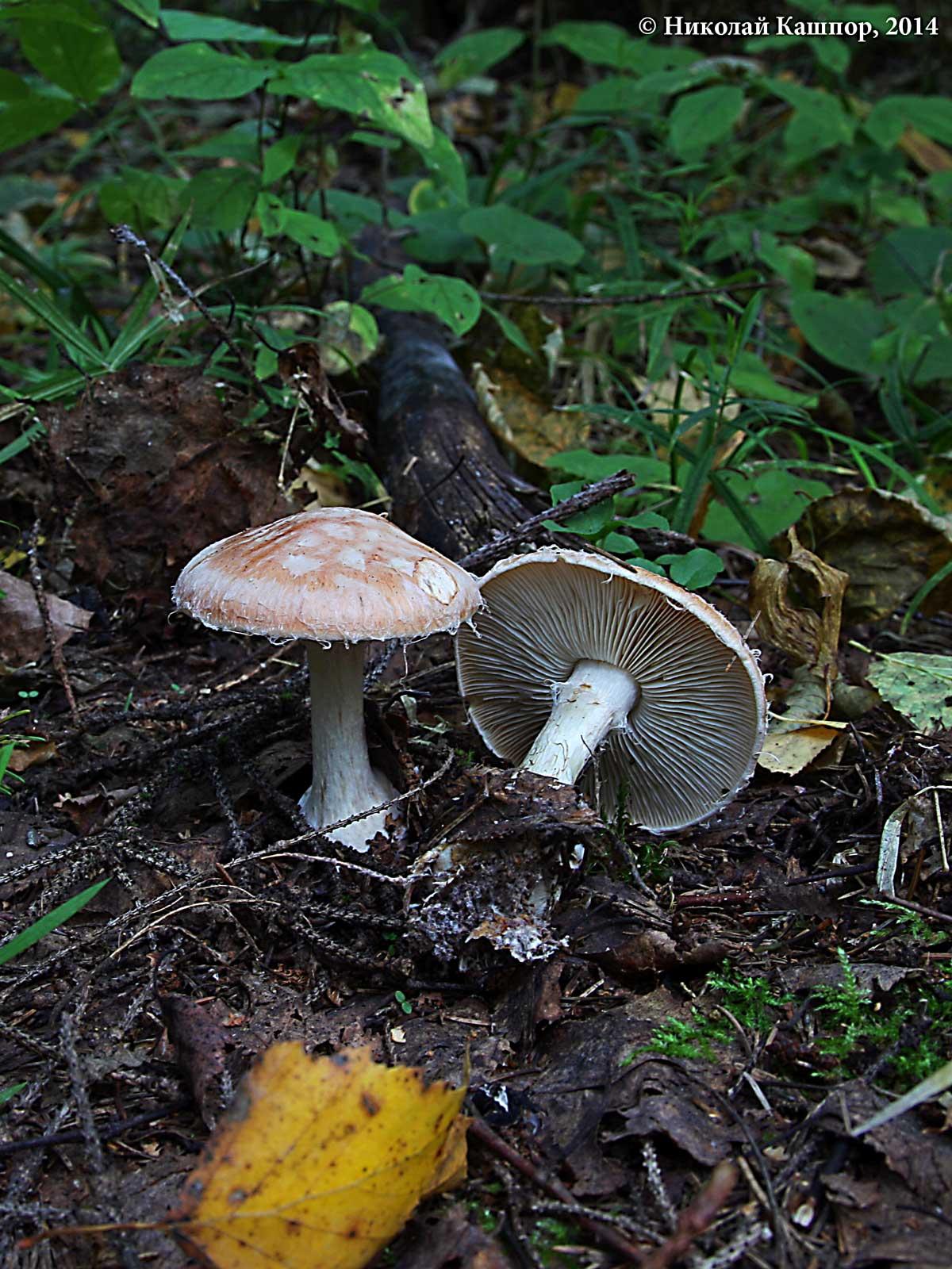 Белопаутинник луковичный (Leucocortinarius bulbiger). Автор фото:Кашпор Николай