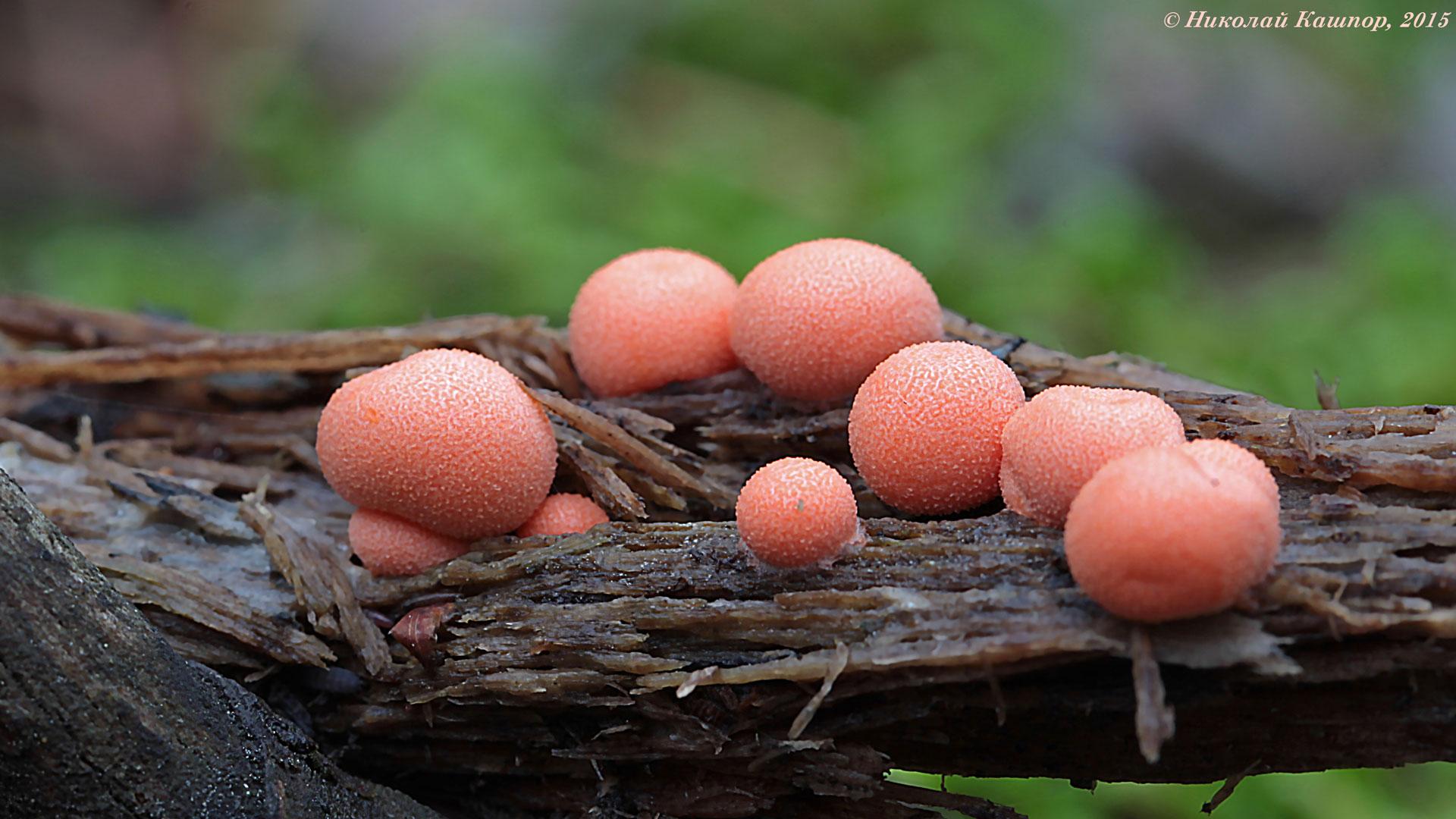Ликогала древесинная (Lycogala epidendrum). Автор фото: Кашпор Николай