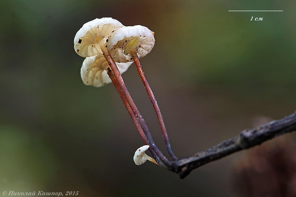 Негниючник колесовидный (Marasmius rotula). Автор фото:Кашпор Николай